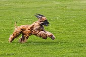 Male Afghan Hound dog (Canis lupus familiaris), running on coursing track