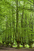 Hayedo de Otzarreta, Remarkable beech forest, formerly cut for charcoal production, Gorbeia Natural Park, Basque Country, Spain.