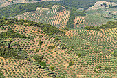Intensive cultivation of olive trees in Estramadura. GeoPark of Villuercas Ibores Jara, Estremadura, Spain