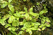 Grassy leaves covered with sticky insects .Long-leaved butterwort (Pinguicula longifolia), Carnivorous perennial plant of wet seeps, Somiedo Natural Park, Asturias, Spain
