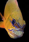 Ringtailed Cardinalfish, Apogon aureus, mouth brooding eggs. Tulamben, Bali, Indonesia. Pacific Ocean.