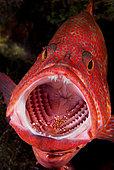 a Cleaner Rock Shrimp, Urocaridella sp., servicing a Coral Grouper, Cephalopholis miniata, Tulamben, Bali, Indonesia. Pacific Ocean
