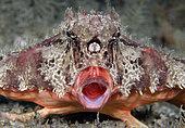 Polka-Dot Batfish, Ogcocephalus radiatus, yawns in a threat display, Blue Heron Bridge, Lake Worth Lagoon, Riviera Beach, Florida, U.S.A . Atlantic Ocean
