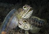 pair of Banded Jawfish, Opistognathus macrognathus, in a mating courtship, Blue Heron Bridge, Lake Worth Lagoon, Riviera Beach, Florida, U.S.A . Atlantic Ocean
