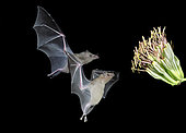 A pair of Lesser long-nosed bats, Leptonycteris curasoae, come in to feed on an Agave Flower. Amado, Arizona.