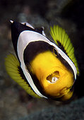 "Saddleback anemonefish (Amphiprion polymnus) with a ""tongue"" isopods, Cymothoid sp., visible in its mouth. Tulamben, Bali, Indonesia, Pacific Ocean."