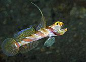 Black-Rayed Shrimp Goby (Stonogobiops nematodes), Tulamben, Bali, Indonesia. Pacific Ocean.