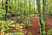 Beech forest, Binz, Rugen Island, Mecklenburg-Vorpommern, Germany. The forest of the Naturerbe Zentrum can be discovered thanks to a treetop walk of 1 500m long.
