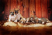 American Staffordshire Terrier, group of puppies 4 weeks, red-white, lying on fur blanket, Austria, Europe