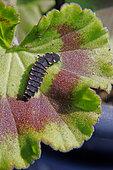 Ver luisant ou Lampyre (Lampyris noctiluca) larve sur une feuille de géranium au printemps, Jardin de campagne, Lorraine, France