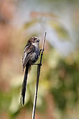 Long-tailed tit (Aegithalos caudatus), juvenile on a stem of dry reed in spring, at the edge of the old salines of Hyères, Var, France