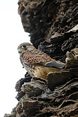 Kestrel (Falco tinnunculus) on a trunk of palm trees at the end of spring, on the edge of the Pesquiers Salins in Hyères, Var, France