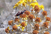 Red Assassin Bug (Rhynocoris iracundus) on flowers to hunt in late spring, Maquis hills around Hyères, Var, France