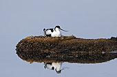 Pied Avocet (Recurvirostra avosetta) brooding on an islet in a pond in summer Salins de Hyères old, Var, France