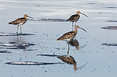 Curlew (Numenius arquata) in a pool of old salt marshes in summer, Surroundings of Hyères, Var, France