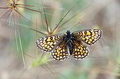 Heath Fritillary (Melitaea athalia) open wings on dry grass in summer, Hills of the Maures around Hyères, Var, France