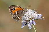 Spanish gatekeeper (Pyronia bathseba) foraging on a Scabiosa (Scabiosa sp) in summer, Collines des Maures, around Belgentier, Var, France