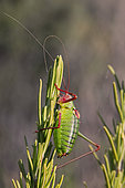 False Katydid (Barbitistes fischeri) on a shrub in summer, Plaine des Maures, around Mayons, Var, France
