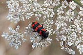 Bee beetle (Trichodes apiarius) on an umbellifer flower for foraging in summer, Hills of the Gapeau Valley, near Belgentier, Var, France
