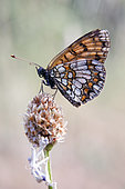 Heath Fritillary (Melitaea athalia) closed wings on a grass in summer, Hills of the Maures around Hyères, Var, France
