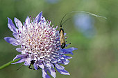 Green Longhorn Moth (Adela reaumurella) on a Scabious (Scabiosa sp) for foraging in summer, Hills of the Gapeau Valley, near Belgentier, Var, France