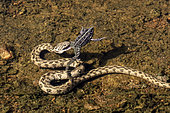 Viperine Water Snake (Natrix maura), predation of a Lowland Frog (Pelophylax ridibundus) in a pool of the plain of the Maures in summer, Surroundings of Mayons, Var, France