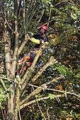Tree pruning in autumn, cutting branches of a lime tree by a pruner with safety harness, country garden in Lorraine, France