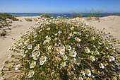 Sea Anthemis (Anthemis maritima) in bloom, Ria Formosa Natural Park, Algarve, Portugal
