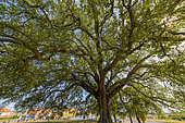Cork oak (Quercus suber) remarkable multicentenary tree in Portugal. Cork is harvested every 9 years on mature oaks, around 25 years, the trunk turns red orange for a few weeks, Portugal is the leading producer of cork.