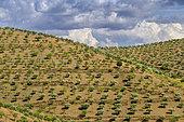 Monocultures of olive and almond trees, arid and very hot area south of Vila Nova de Foz Coa, Portugal