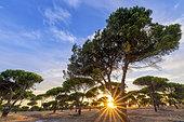 Plantation of Italian stone pines (Pinus pinea), Lisbon Region, Portugal