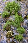 Laîche (Carex sp) dans le lit d'une rivière, Sistelo, Nord du Portugal