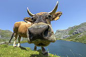 Curious cow, Lago del Valle, Somiedo NP, Cantabrian Channel in Asturias, Spain