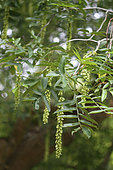 Chinese wingnut (Pterocarya stenoptera) leaves and fruits, botanical garden of Tours, Center-Val de Loire, France