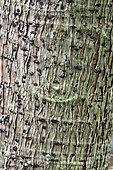 Papayer (Carica papaya) bark , botanical garden of Tours, Center-Val de Loire, France
