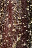 Tapioca (Manihot esculenta) bark , botanical garden of Tours, Center-Val de Loire, France