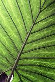 Alocasia (Alocasia sp) leaf, botanical garden of Tours, Center-Val de Loire, France