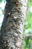 Sweet birch (Betula lenta) bark , botanical garden of Tours, Center-Val de Loire, France