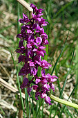 Flowering pink Elder-flowered Orchid (Dactylorhiza sambucina) in open field, Aubrac, Auvergne, France