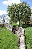 Walnut (Juglans regia) and dry stone walls, Aubrac, Auvergne, France