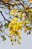 Golden shower (Cassia fistula) flowers, Cambodia