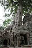 Council tree (Ficus altissima) on the archaeological site of Ta Prohm, Cambodia