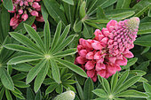 Inflorescence and foliage of horticultural Marsh lupine (Lupinus polyphyllus), Rospez, Brittany, France