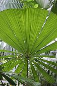 Mangrove fan palm (Licuala spinosa) palm, Saint-Philippe, La Réunion island