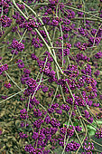 Bodinier's beautyberry (Callicarpa bodinieri) berries in a public garden, L'Haÿ-les-roses, Ile-de-France, France