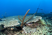 Boat anchor stuck in the coral reef, Wreck du Phaon, Djibouti