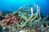 Cushion-finger green sponge (Amphimedon chloros), Gulf of Tadjoura, Djibouti