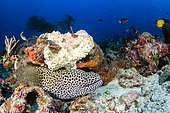 Laced moray (Gymnothorax favagineus) in reef, archipelago of 7 brothers, Djibouti