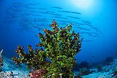 Tubastrée verte (Tubastraea micrantha) et banc de Barracudas (Sphyraena sp), archipel des 7 frères, Djibouti