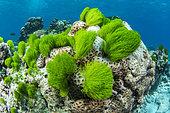 Green Hairy Seaweed (Chlorodesmis fastigiata), archipelago of 7 brothers, Djibouti